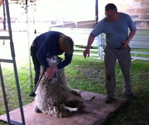 Sheep2014B