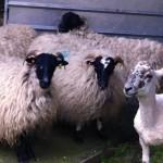 Sheep2014A